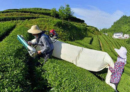 tea picking machines